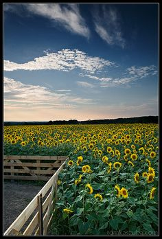 Sunflowers in bloom at Buttonwood Farm, Griswold Connecticut