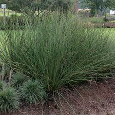 "This one stays green all year long and reaches 46"". A great back drop to the Purple Fountain Grass I want to plant. - Juncus Pallidus Javelin"