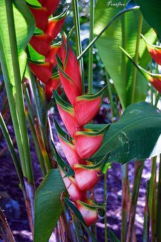 This is a bright plant that can be found in Costa Rica. These plants are not hard to find. They are also a joy to see when the tourists come across these natural beauties!