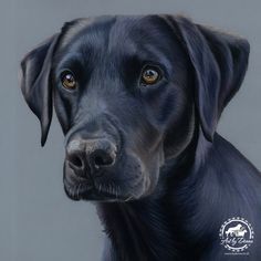 Pet Portraits & Animal Art Portfolio - Dog Portraits, Cat Portraits, Equestrian and Animal Art hand drawn or painted from your favourite digital photographs by UK Pet Portrait Artist Donna Labrador Noir, Black Labrador Retriever, Black Labrador Dog, Dog Eyes, Dog Paintings, Dog Portraits, Funny Art, Animal Drawings, Dog Training