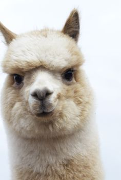 Must get an alpaca! Curious Ollie via blue sky alpacas Animals And Pets, Baby Animals, Funny Animals, Cute Animals, Alpacas, Beautiful Creatures, Animals Beautiful, Alpaca My Bags, Cute Alpaca