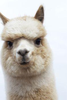 Must get an alpaca! Curious Ollie via blue sky alpacas