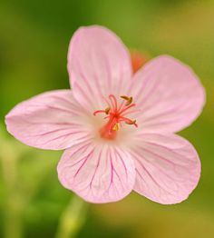 """Geranium californicum  """"California Cranesbill"""". Needs sun. Shearing the plants back to basal growth after flowering will improve its look and encourage reblooming."""