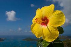Yellow hibiscus flower overlooking the harbor.