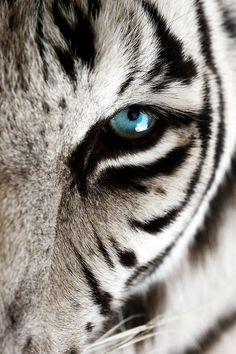 99 потрясающих портретов животных, тигр