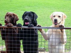 Lab family!  Just add a Silver Lab, Redfox Lab, and Dudley Lab!  :)