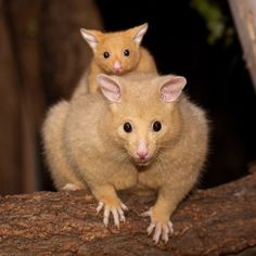 golden bushtail possum