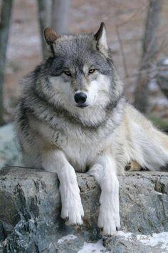 Lobo gris echado