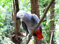 """Kasuku"" - African Grey Parrot  We had 2 different parrots just like this and he said all kinds of things!"