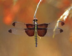 """Warm Shades of Brown"" by Larry Jernigan on Capture Arkansas // A dragonfly suspends on the tip of a blade of grass as it rest a moment.   ( More images by CCShutterbugs members can be viewed by visiting our new CA group ""Cleburne County Shutterbugs""."
