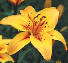 Lilium spp. common name lily, usually dark - dotted in the throat. For food - The flowers, seeds and bulbs. Flowers eaten in salads, bulbs were cooked and eaten with venison and fish by native Americans.
