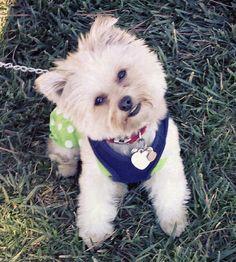 Abby the Yorkie Mix -- Dog Breed: Pomeranian / Yorkshire Terrier
