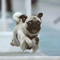 Volando voy, volando vengo vengo #perro #dog #carlino #animales
