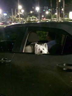 Westie sheen ❤️❤️ Westie Puppies, Westies, West Highland White, West Highland Terrier, Cairn Terrier, White Terrier, Rainbow Bridge, Love Pet, Scottie