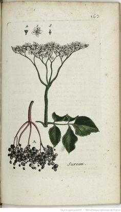 SAMBUCUS - Sambucus nigra. Le sureau / Le sulion / Le seuillet / Le sognon / Le sureau ordinaire / Le suin / Le seur / Le seu