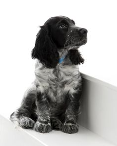 gorgeous blue roan cocker spaniel puppy ...........click here to find out more http://googydog.com