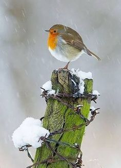 Feathers puff up in the cold snowy weather. Cute Birds, Pretty Birds, Small Birds, Little Birds, Beautiful Birds, Colorful Birds, Robin Bird, Winter Scenery, Tier Fotos