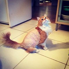 """""""Playing with the human's hair clippers = never a good idea. Funny Cat Fails, Funny Cats And Dogs, Funny Cat Memes, Funny Cat Videos, Funny Cat Pictures, Dog Pictures, Hilarious, Cat Comics, Unusual Animals"""