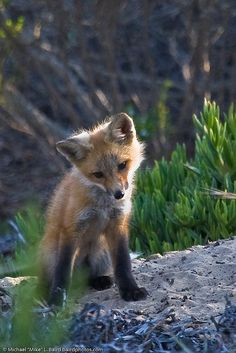 Red Fox Pup ~ Morro Bay, CA ~ Cloisters City Park