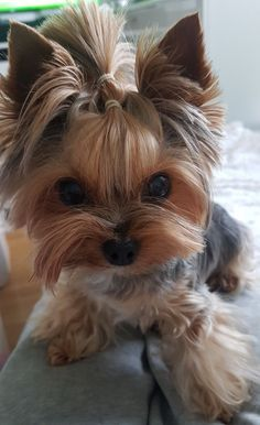 (notitle) - yorkshire terrier Cosma my love - Super Cute Puppies, Cute Baby Dogs, Cute Little Puppies, Cute Dogs And Puppies, Cute Little Animals, Cute Funny Animals, Yorky Terrier, Terrier Dogs, Bull Terriers
