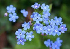 Brunnera macrophylla | schaduw planten | Tuinplanten stekplek
