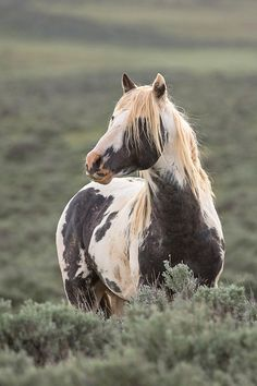 In the prime of his life, the beautiful pinto stallion, Thor, has his heart set on finding and keeping some mares of his own.  Still a bachelor, he has focused his attention on the mare, Shakira, but must battle her band stallion, Utah, first.