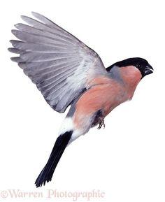Bullfinch in flight