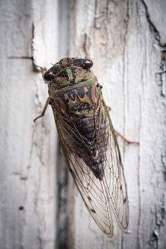 Classic Cicada-what an angel