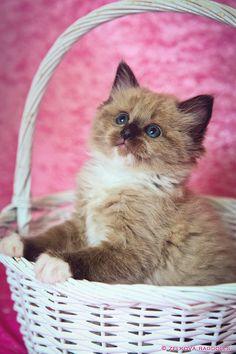 seal mink ragdoll kitten by venomxbaby.deviantart.com on @deviantART