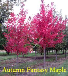 autumn fantasy maple, 25 x 12.  Smaller maple that has an upright oval form with 5 lobed leaves that resemble silver maples.  Green leaves with attractive crimson fall color.