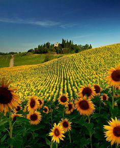 Sunflower Field, Tuscany, Italy photo via akane - isin't she beautiful? and ever so serene!