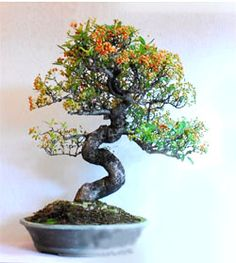 51 Best Bonsai informal upright or moyogi tree style: visible curves