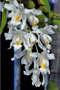 Coelogyne cristata    http://www.my-orchids.eu/shop/catalog/coelogyne-cristata-p-106.html?osCsid=5f91e73e6aae5530c9710d9a587b04c7