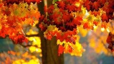Maple Trees - Other Wallpaper ID 2033843 - Desktop Nexus Nature Autumn Trees, Autumn Leaves, Terre Nature, Maple Tree, Seasons Of The Year, Beautiful Wall, Autumn Inspiration, Wallpaper Backgrounds, Wallpapers