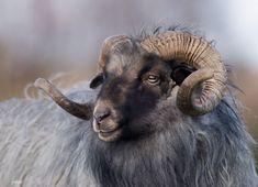 Farm Animals, Animals And Pets, Cute Animals, Farm Photography, Animal Photography, Photo Animaliere, Sheep Art, Cow Art, Tier Fotos