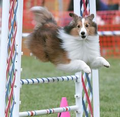 Awww show sheltie jumping