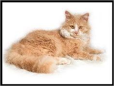 Rudy, Kot, Syberyjski