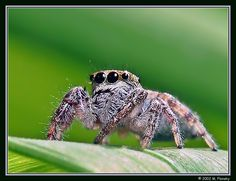 Plonsky's macro shoots of bugs always have lots of personality. Jumping Spider, Spiders, Macro Photography, Jumpers, My Images, Bugs, Creepy, Photographers, Personality