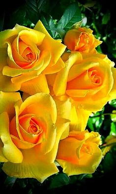 Yellow Roses my favourite