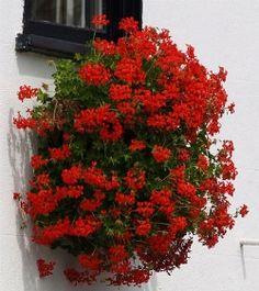 gerani rossi alla finestra