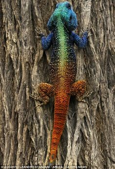 Awesome coloring! Its a real lizard that can somehow change different colors from head to toe.