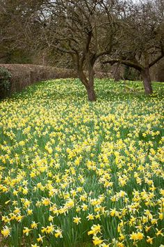 A host, of golden daffodils; Beside the lake, beneath the trees,  Fluttering and dancing in the breeze