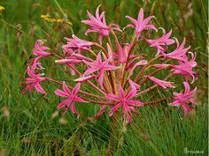 Brunsvigia radulosa, Candelabra flower, Kandelaarblom, misryblom, Long Tom Pass,  Mpumalanga, pink, flower, floral, flora, South Africa, indigenous, Amaryllidaceae, (c) Florescence