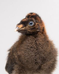 What's a Horned Guan, and why is this chick so significant for the Saint Louis Zoo?  Find out at ZoBorns.com and at http://www.zooborns.com/zooborns/2015/08/rare-horned-guans-hatch-at-saint-louis-zoo.html
