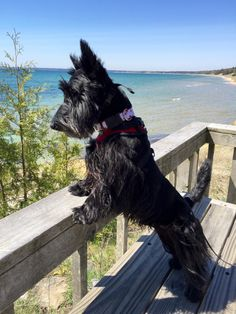 At The Park On Main in HIghlands, NC, we love Scottie Dogs like our mascot Mr… Terrier Breeds, Terrier Dogs, Dog Breeds, Bull Terriers, Pet Dogs, Dogs And Puppies, Dog Cat, Doggies, Scottish Terrier Puppy