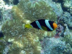 Clown fish. Makunudu Island Resort