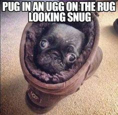 pug in an ugg looking snug