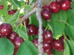Cherry Orchard... somewhere in Selah, WA.  ♥