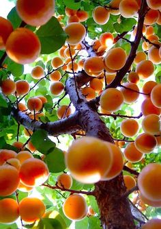 Apricots grew on the tree in Grandma's back yard.  Their nectar was so sweet...