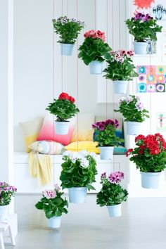 Create a dynamic hanging display of Regal Pelargonium for a bold statement in your home!